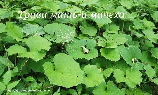 трава мать и мачеха лечебные свойства
