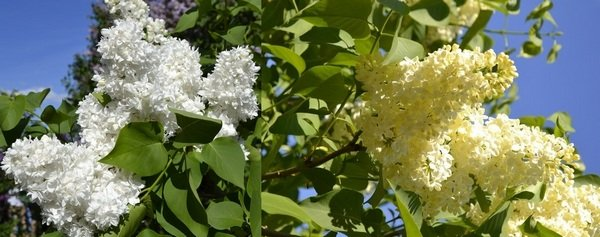аромат весны