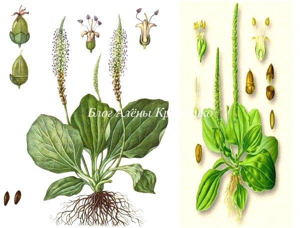 Семена подорожника лечебные свойства