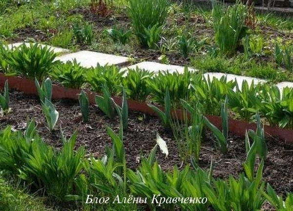 Выращивание черемши на даче