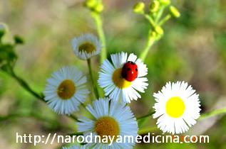 цистит лечение травами