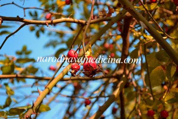 Шиповник — лечебные свойства и применение ярких плодов