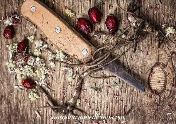 Какими лечебными свойствами обладает корень шиповника